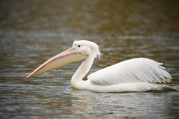 Great White Pelican Photo @ Kiwifoto.com
