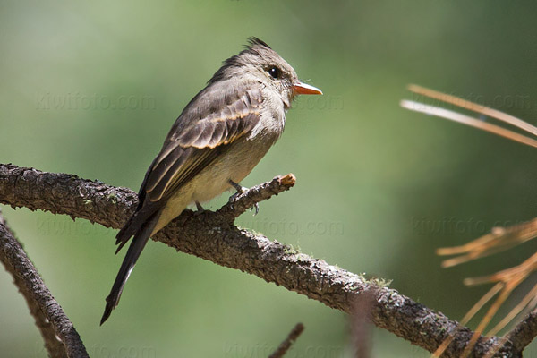 Greater Pewee Picture @ Kiwifoto.com