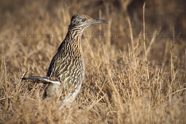 Greater Roadrunner Image @ Kiwifoto.com