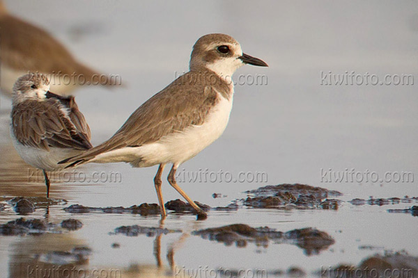 Greater Sand-Plover (Spoon-billed Sandpiper preening on left)