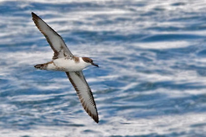 Greater Shearwater Photo @ Kiwifoto.com