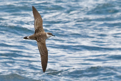 Greater Shearwater Picture @ Kiwifoto.com
