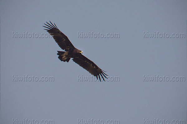 Greater Spotted Eagle Photo @ Kiwifoto.com