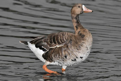Greater White-fronted Goose Photo @ Kiwifoto.com