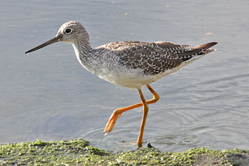 Greater Yellowlegs Picture @ Kiwifoto.com