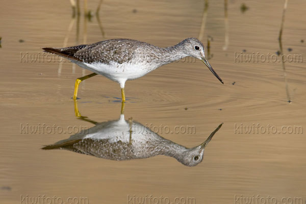 Greater Yellowlegs Image @ Kiwifoto.com