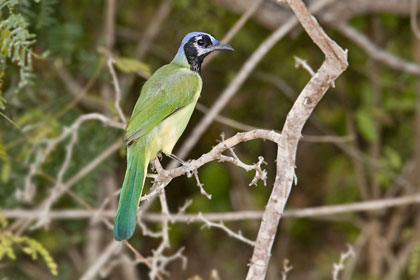 Green Jay Photo @ Kiwifoto.com