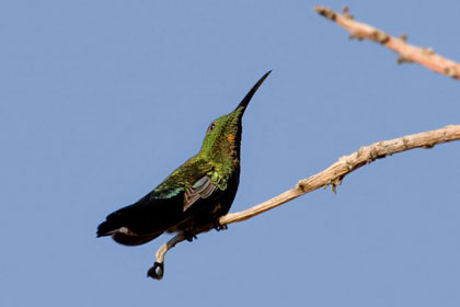 Green-throated Carib Image @ Kiwifoto.com