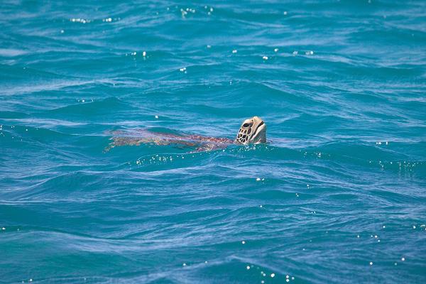 Green Turtle @