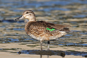 Green-winged Teal (A.c. carolinensis)