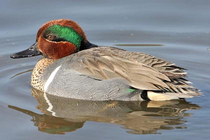 Green-winged Teal Photo @ Kiwifoto.com