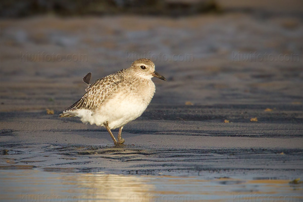 Grey Plover Photo @ Kiwifoto.com