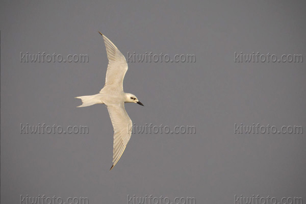 Gull-billed Tern Photo @ Kiwifoto.com