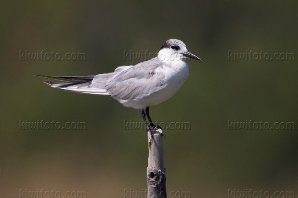 Gull-billed Tern Picture @ Kiwifoto.com
