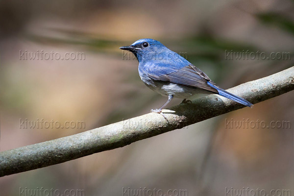 Hainan Blue-Flycatcher Photo @ Kiwifoto.com
