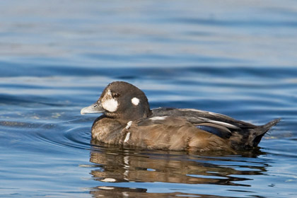 Harlequin Duck Photo @ Kiwifoto.com