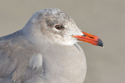 Heermann's Gull Photo @ Kiwifoto.com