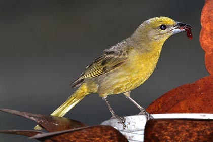 Hepatic Tanager Photo @ Kiwifoto.com
