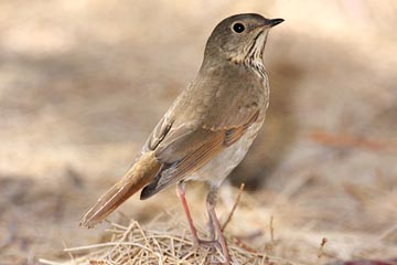 Hermit Thrush Photo @ Kiwifoto.com