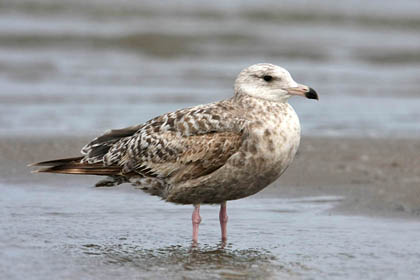 Herring Gull Picture @ Kiwifoto.com