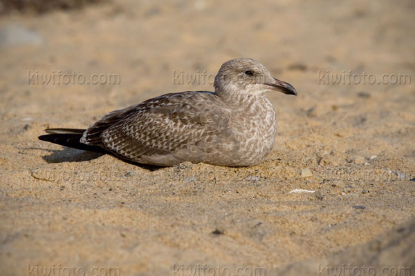 Herring Gull (1st cycle)