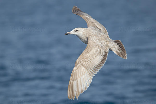 Herring Gull (Herring x Glaucous-winged?)