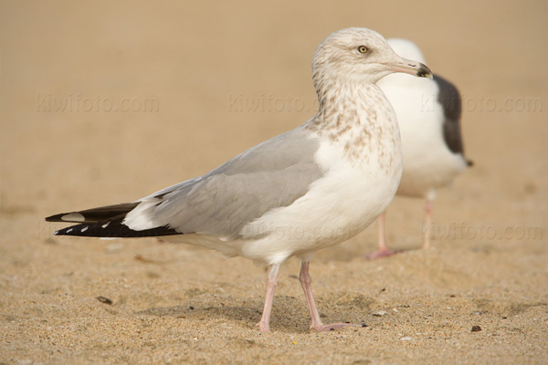 Herring Gull (3rd cycle, advanced PB4 molt)