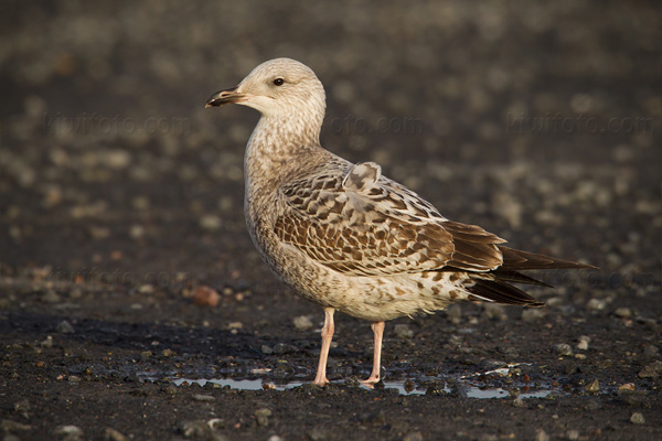 European Herring Gull (juvenal/1st cycle plumage)
