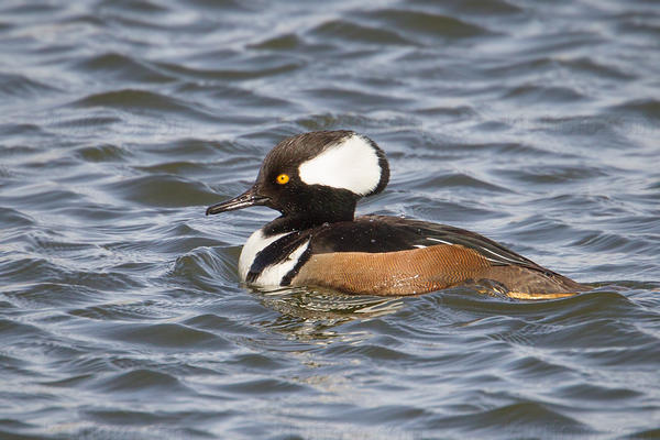 Hooded Merganser Picture @ Kiwifoto.com