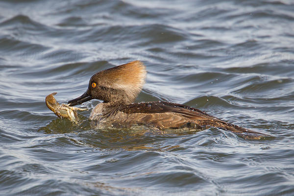 Hooded Merganser Photo @ Kiwifoto.com