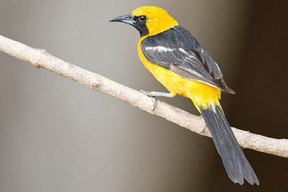 Hooded Oriole Picture @ Kiwifoto.com