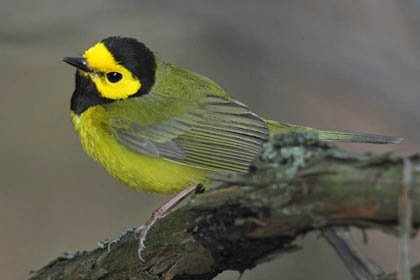 Hooded Warbler Photo @ Kiwifoto.com