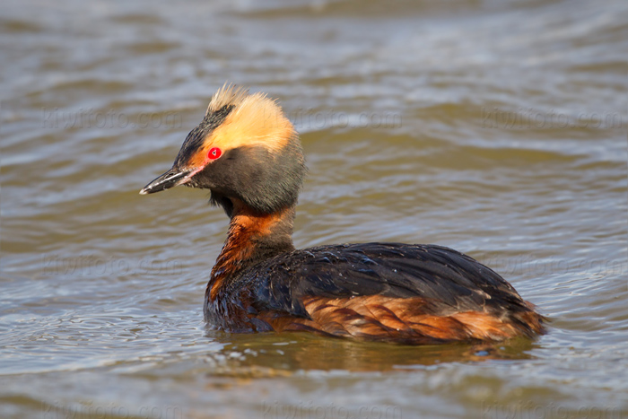 Horned Grebe Picture @ Kiwifoto.com