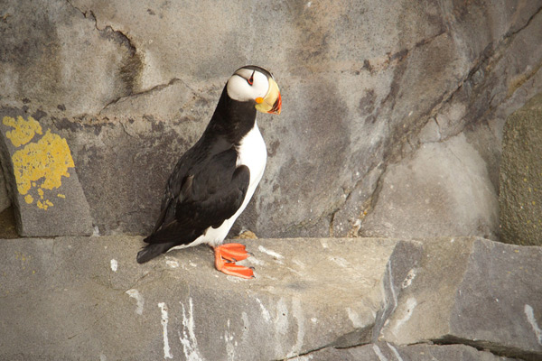 Horned Puffin Picture @ Kiwifoto.com