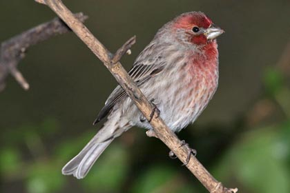 House Finch Photo @ Kiwifoto.com