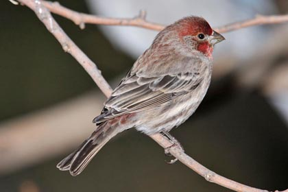 House Finch Picture @ Kiwifoto.com