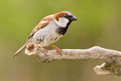 House Sparrow Photo @ Kiwifoto.com