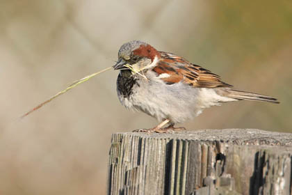 House Sparrow Picture @ Kiwifoto.com