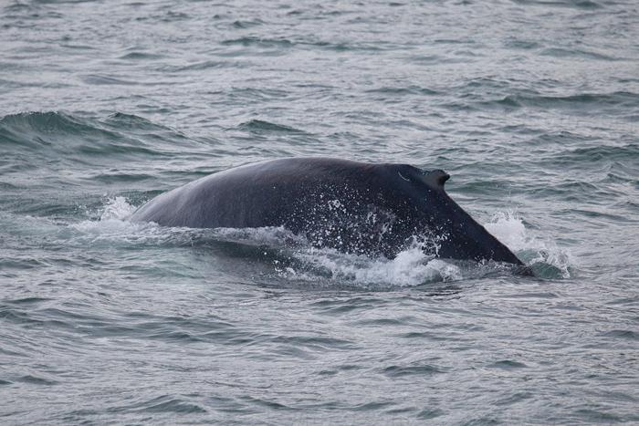Humpback Whale @ Husavik, Iceland (pelagic)
