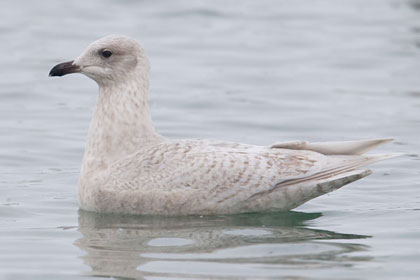Iceland Gull Picture @ Kiwifoto.com