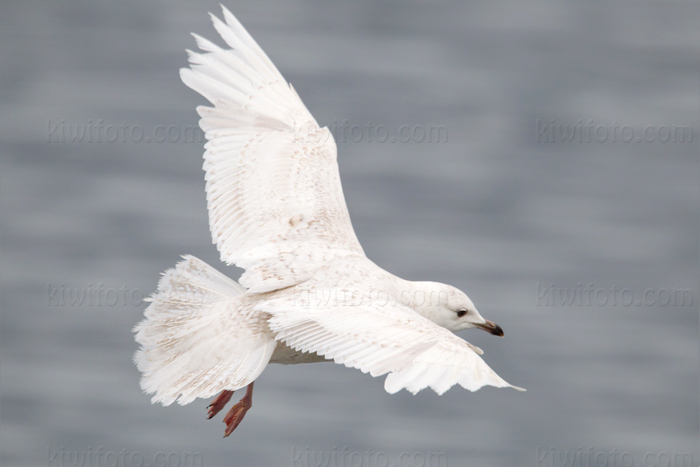 Iceland Gull Photo @ Kiwifoto.com