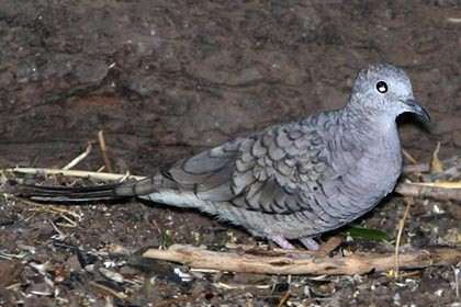 Inca Dove Photo @ Kiwifoto.com