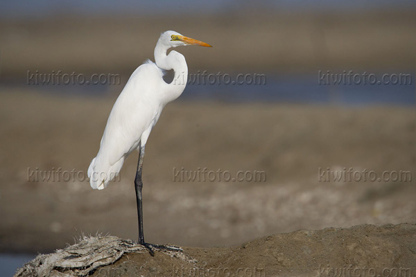Intermediate Egret Photo @ Kiwifoto.com