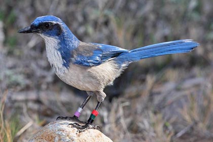 Island Scrub-Jay Photo @ Kiwifoto.com