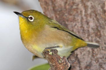 Japanese White-eye Image @ Kiwifoto.com