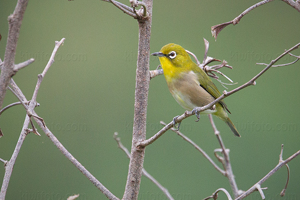 Japanese White-eye Photo @ Kiwifoto.com