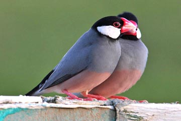 Java Sparrow Photo @ Kiwifoto.com