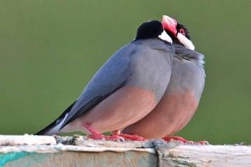 Java Sparrow Picture @ Kiwifoto.com