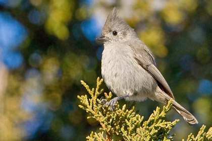 Juniper Titmouse Photo @ Kiwifoto.com