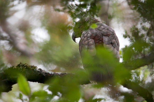 Kaka N. m. meridionalis @ Stewart Island, South New Zealand